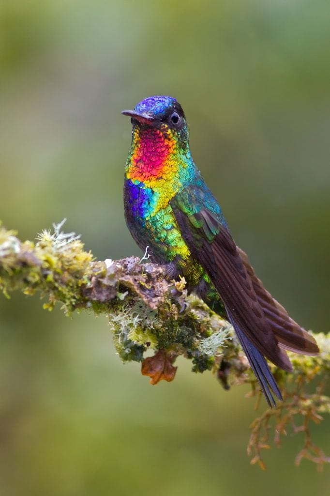 Fiery-throated Hummingbird (Panterpe insignis)