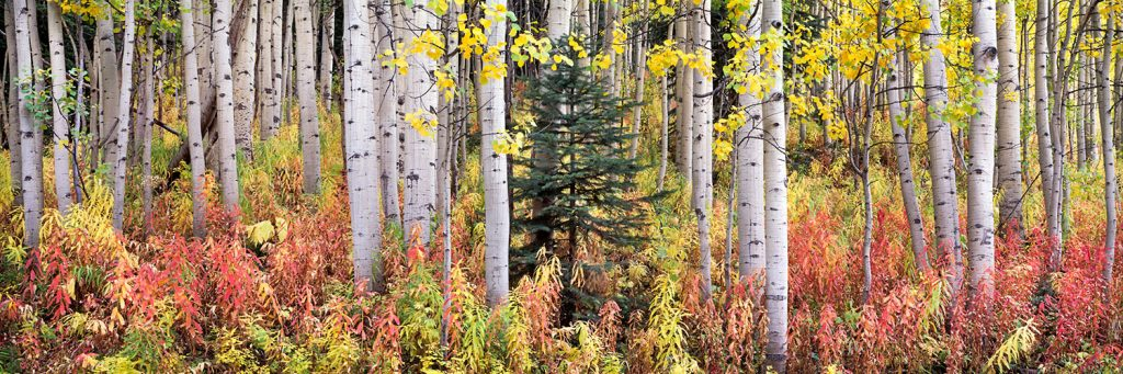 Autumn-Fireweed-and-Aspens
