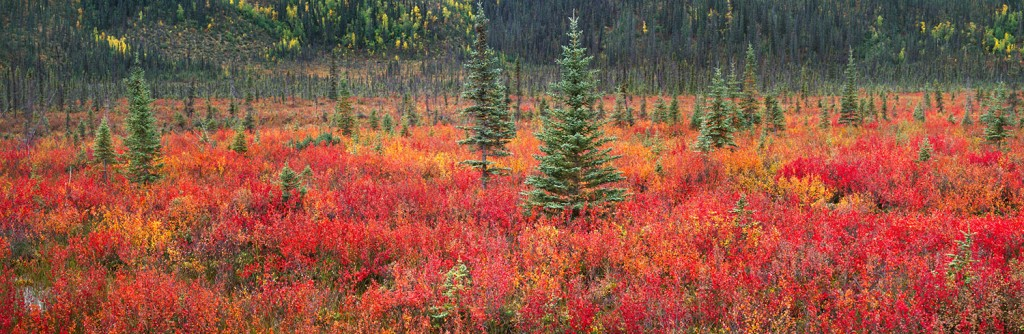 Dwarf-Birch-and-Black-Spruce-Trees