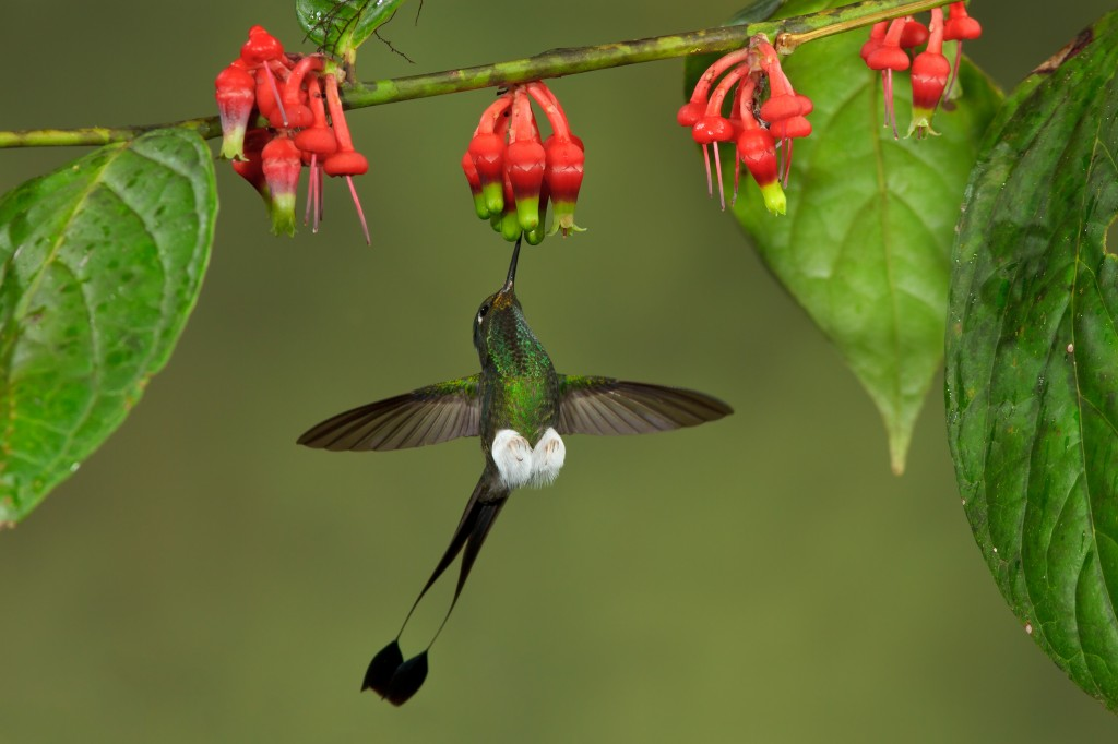 Booted Racket-tail hummingbird (Ocreatus underwoodii)