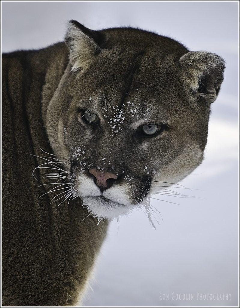 blue eyed cougar sig prnt