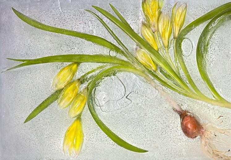 Janet Dwyer tulips on ice_20x24