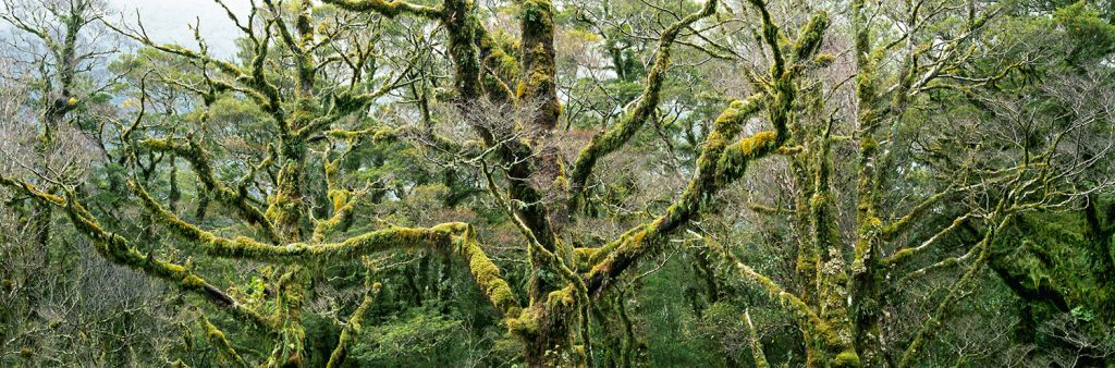 Steven Friedman Mossy-Beech-Trees