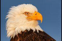 Chris Dodds Bald Eagle Image