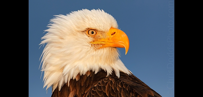 Chris Dodds Bald Eagle Image