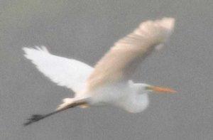 Distant Egret - Loxahatchee Florida December 2002