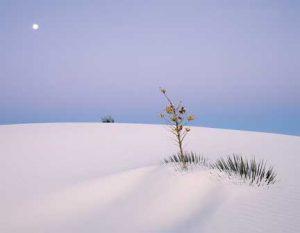 Sand-Moon Bush, White Sands - Michael Reichmann